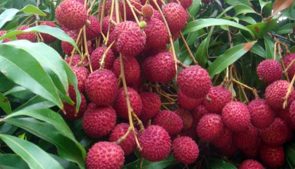 Summer Fruits for Weight Loss Litchi